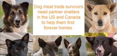 Soi Dog Foundation in Phuket, Thailand, is actively seeking NEW RESCUE ORGANIZATIONS in Canada and the USA to join forces with us in our effort to re-home over 1000 dogs rescued from the illegal dog meat trade (DMT) and streets of Thailand. http://bit.ly/2y9NJPK
