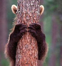 Baby Bear Cub Playing Peek-a-boo  No Copyright Intended-Footage belongs to their respected owners. Please email Babyanmals@gmail.com for crediting issues ✉️