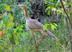 Foto seriema (Cariama cristata) por Leonardo Casadei   Wiki Aves - A Enciclopédia das Aves do Brasil