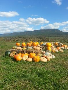 A pumpkin patch in Mount Jackson,Virginia.
