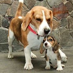 Beagle come with daddy