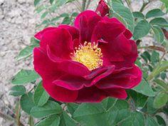 Rosa gallica 'Tuscany' - Samt-Rose                                                                                                                                                                                 Mehr