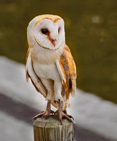 Golden Mascot Owl by Ole-Henning Svendsen