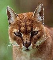 African golden cat.  About twice the size of domestic cat.