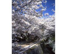 哲学の道の桜  #京都 #春 #kyoto #spring #japan