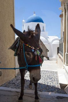 Inch Print - High quality prints (other products available) - Donkey in front of blue domed church, Santorini - Image supplied by Fine Art Storehouse - Photograph printed in the USA Santorini Island, Santorini Greece, Crete Greece, Athens Greece, Work With Animals, Cute Animals, Fine Art Prints, Framed Prints, Canvas Prints