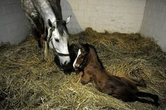 Foaling Horses: 101-911 - TheHorse.com | During and after foaling are two of the most critical times in a neonate and his mother's lives. #horses #foaling