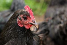Say Little Hen: Eggs Aside - 5 More Reasons You Should Keep Chicke...