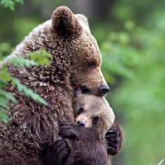 Bears have the anatomy of a human being and the instincts of an animal. Stop the bearded hunts.