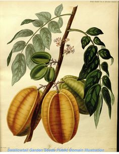 Chinese Gooseberry, Star Fruit - Averrhoa carambola - (1842) - by Sarah Ann Drake
