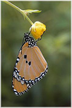Plain Tiger (Danaus chrysippus)   Gorgeous Butterfly! !!!!!