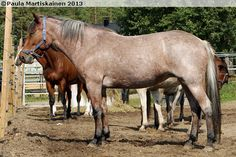 Bay roan Finnhorse mare Taika-Vappu (b. 2006). Roan is an extremely rare color on Finnhorses, there's basically only one dam line having a roan gene.