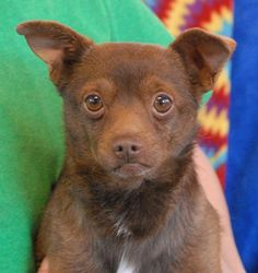 Nevada Society for the Prevention of Cruelty to Animals, Inc. (Nevada SPCA) Las Vegas, NV  89118 Adorable young boy, chocolate Chihuahua mix, neutered, 3 yrs. He pines for love & acceptance! At the time of rescue <3 TEDDY was at another shelter that asked for our help due to his old leg injuries, including a front leg that healed incorrectly after being broken (likely due to failure to obtain medical care). Teddy can walk, though short distances are ideal. Super cute boy, good w/ other dogs!