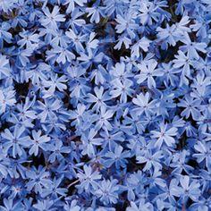 Blue Creeping Phlox