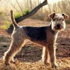 A lakeland terrier alert and ready for fun.
