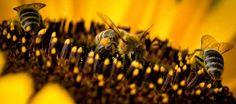 » W Polsce jest coraz mniej pszczół. Ratuj je!