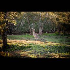 Kangaroo at Coombabah Wetlands