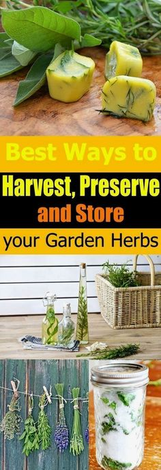 Love growing herbs? But have you tried to preserve and store them? Here're the best ways to HARVEST, preserve, and store herbs. Must see! #Vegetablegardenbasics