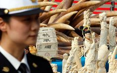 Jan 6, 2014: China destroys part of its ivory stockpile in 'significant symbolic step towards saving Africa's elephants'