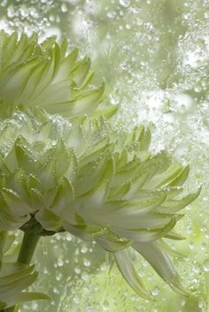 March | Green Chrysanthemums