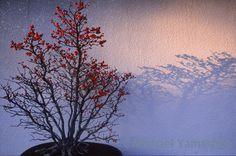 Christmas #bonsai the Japanese art of cultivating miniature trees needs no ornaments. Omiya #Japan. Happy Holidays. #xmas #christmas #christmastree @thephotosociety @natgeo @natgeocreative by yamashitaphoto