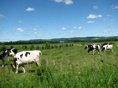 Des vaches à Compton, Cantons-de-l'Est Canton, Logs, Animals, Cows, Animales, Animaux, Animal Memes, Animal, Animais