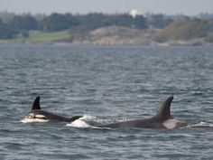 Newborn orca J53 with mother J17.