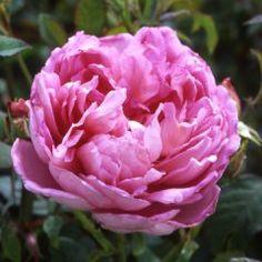 65 best peony images on pinterest beautiful flowers gardening and the ingenious mr fairchild david austin rose looks just like a peony mightylinksfo