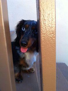 LeRoy-dapple dachshund!