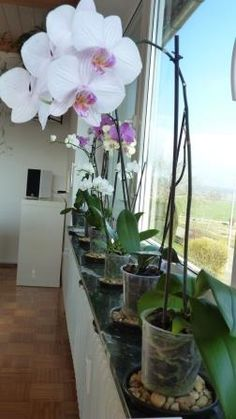 Indoor Gardening My Phals in Pebble Trays - Here are some signs to check to know that your Phalaenopsis orchid is healthy and simple tips on how to take care of orchids. Indoor Orchids, Orchids Garden, Orchid Plants, Garden Plants, Indoor Plants, House Plants, Orchid Plant Care, Indoor Flowers, Indoor Orchid Care