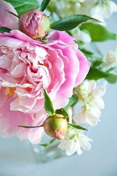 Peonies and Buds