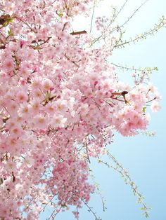 "de-preciated: "" sakura by moyariya on Flickr. Source - (http://flic.kr/p/79kQrm) """