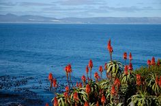 Hermanus - aloes and Walker Bay. Sa Tourism, Provinces Of South Africa, Nature Reserve, Countries Of The World, Long Weekend, Small Towns, Followers, Cape, Places To Visit