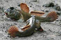 mudskippers - Google zoeken