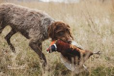 Griffon in Montana - Pheasant hunting in Montana with a Wirehaired Pointing Griffon