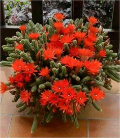"Echinopsis chamaecereus is a species of cactus from Argentina. Synonyms include Chamaecereus silvestrii and Lobivia silvestrii. It has been called the ""peanut cactus"". Cacti And Succulents, Planting Succulents, Garden Plants, House Plants, Planting Flowers, Cactus Planta, Cactus Y Suculentas, Orquideas Cymbidium, Desert Plants"