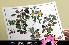Digital Vintage Fruit Images - Antique Fruit and Vine Images - Apples - Pears - Vintage Fruit Images - Instant Download PNG Fruit Clipart By popstock