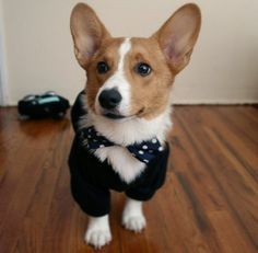 Tyler and I have decided that when we get a Corgi he shall wear a bowtie and his name shall be Gatsby.