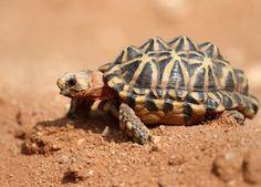Western tent tortoise (Psammobates tentorius trimeni)