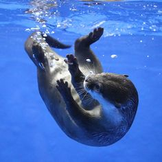 Otter tries to catch an air bubble - January 2, 2018