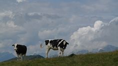 Gstaad ist kuhl. Cow, Animals, Animales, Animaux, Cattle, Animal, Animais, Stuffing