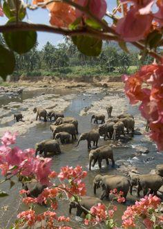 Elephants at Pinnawela