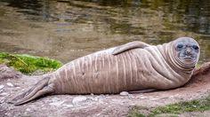 Baby Elephant Seal South Georgia