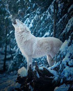 Polarwolf by Michael Schönberger