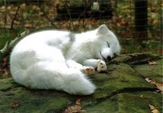 a cute sleeping fox. the fox lives together with another arctiv fox in the zoo of rostock. Baby Arctic Fox, Arctic Wolf, Arctic Animals, Animals And Pets, Wild Animals, White Fox, Wild Dogs, Cute Creatures, Cute Baby Animals
