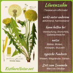 Löwenzahn - Blüten, Blätter und Wurzeln richtig nutzen