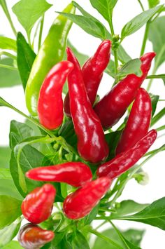 The Essential Guide to Growing Chillies with Hydroponics / GroWell