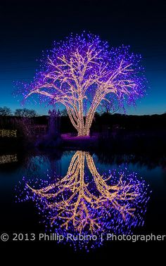 Beautiful large tree at dusk lit for the Christmas holiday reflecting on a pond