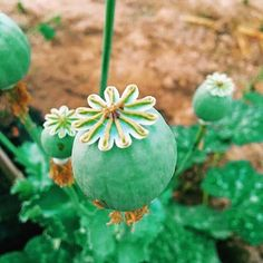 ดอกเดียวก็พอ ไม่ขอเบิ้ล  'งานค้างยังไม่ลืมครับ' ⏳  #420 #สายเขียว #weedporn #weed #ฝิ่น #cocain #ganja #maryjane #bong #kush #hightimes #high #thc #thaistick #marijuana #stoned #og #ออแกรนิค #ลอย #โปรโคดิ้ว #โซแลม #ยานอนหลับ #โคเดอีน #rawlife #cannabis #weedculture #h #ฮิปปี้    #Regram via @natapsyc)