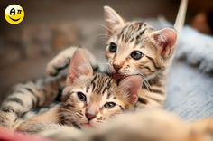 Chaton(s) Bengal by Bruno AzuLay / 500px